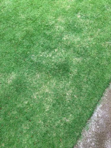 芝生に固形肥料を散布 2019年7月後半